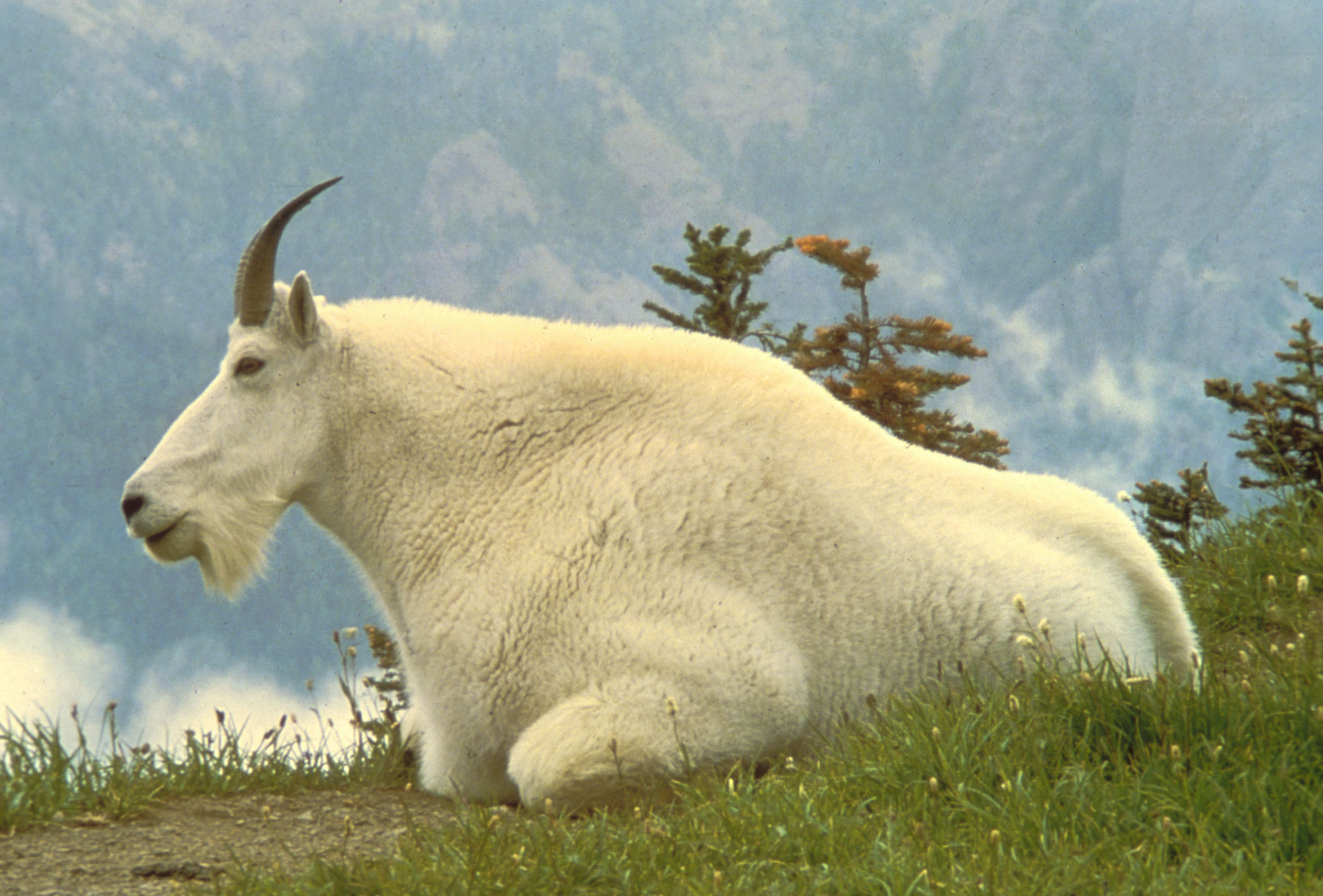 mountain goat wallpaper wild animals