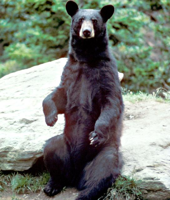 Hibernating bears may provide valuable info for heart-attack victims