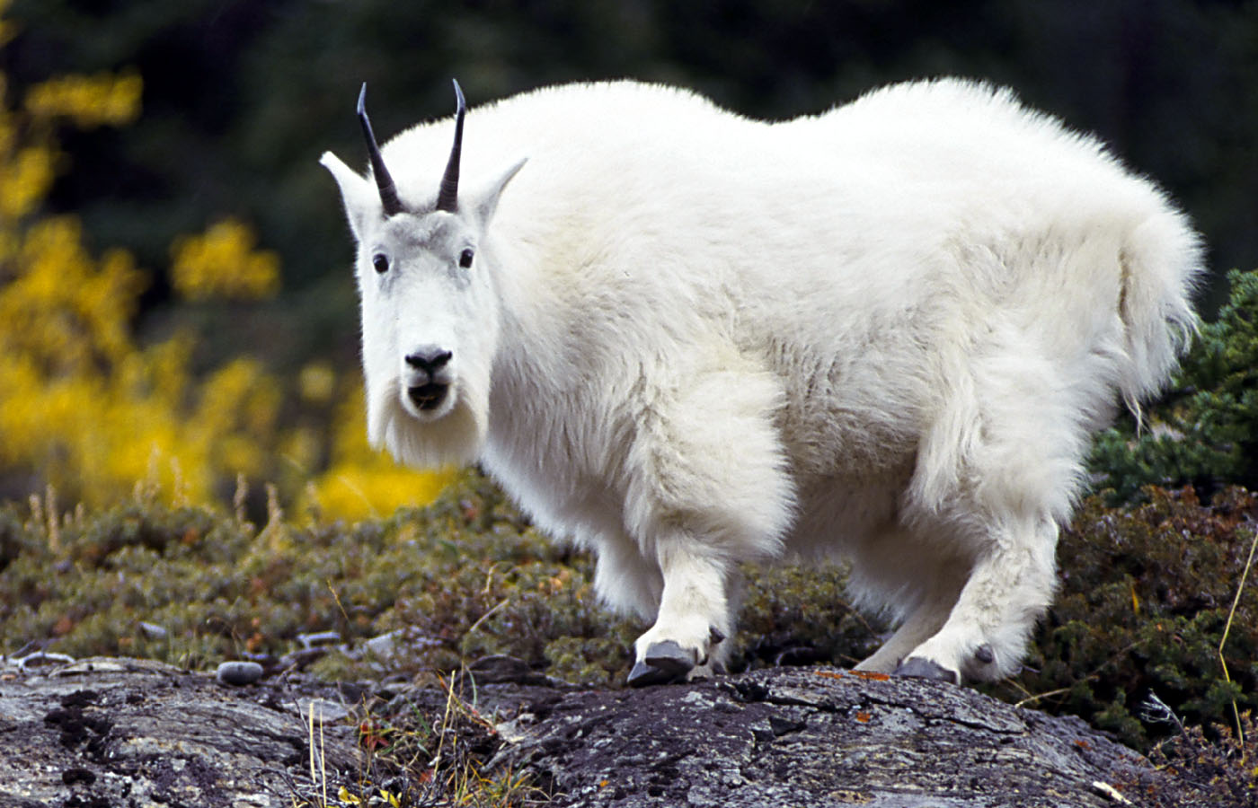 Goat-Wallpaper-On-Desktop